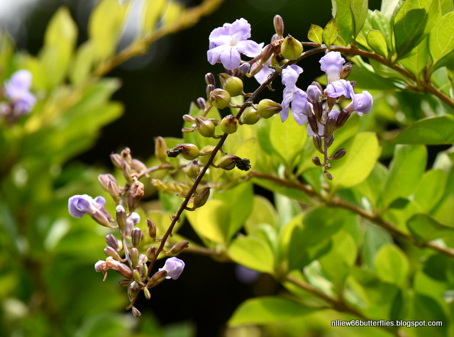 Pigeon Berry (Duranta erecta) All year