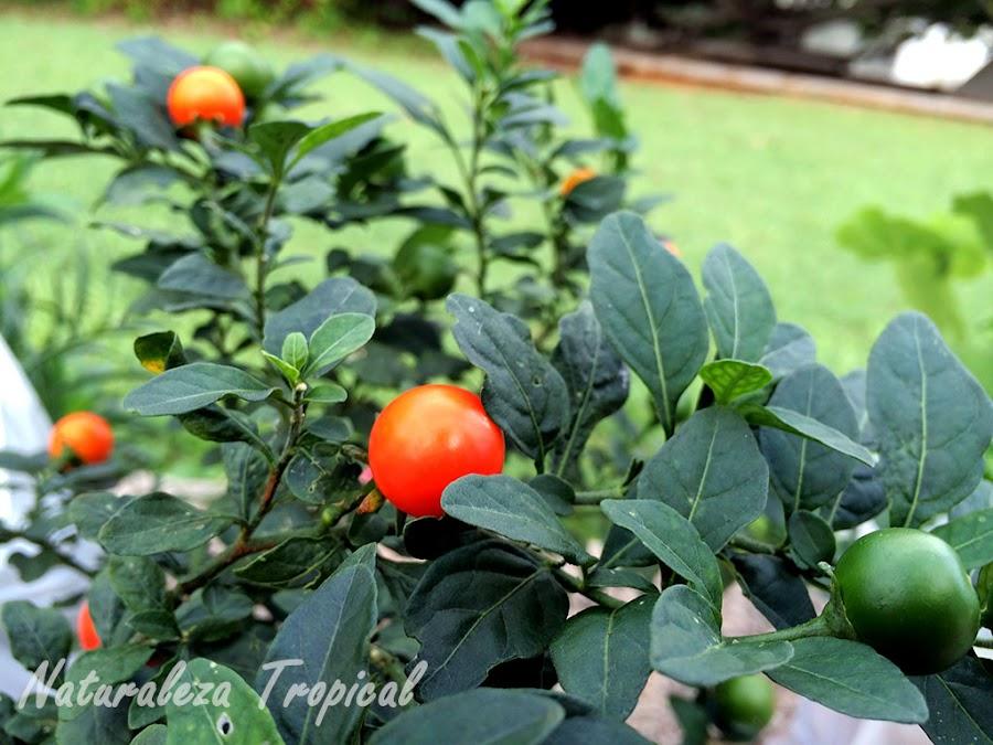 Frutos en diferentes estados de maduración de la Cereza de Jerusalén, Solanum pseudocapsicum
