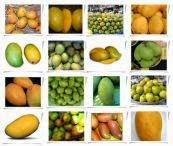 buah mangga, manfaat buah mangga, klasifikasi buah mangga, jenis jenis buah mangga, deskripsi buah mangga, cara budidaya buah mangga, budidaya buah mangga,budidaya tanaman mangga;