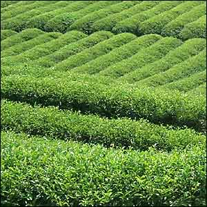 India's Tea Imports Down 14% In April-October 2011