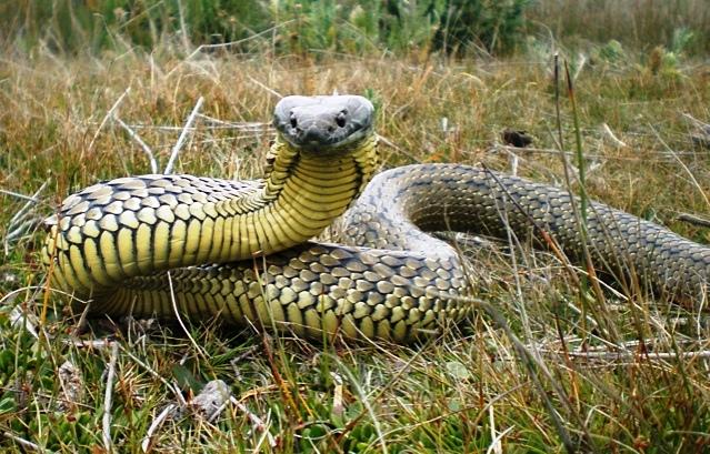 Protect Your Dog from Snake Bites | Australian Dog Lover - photo#41