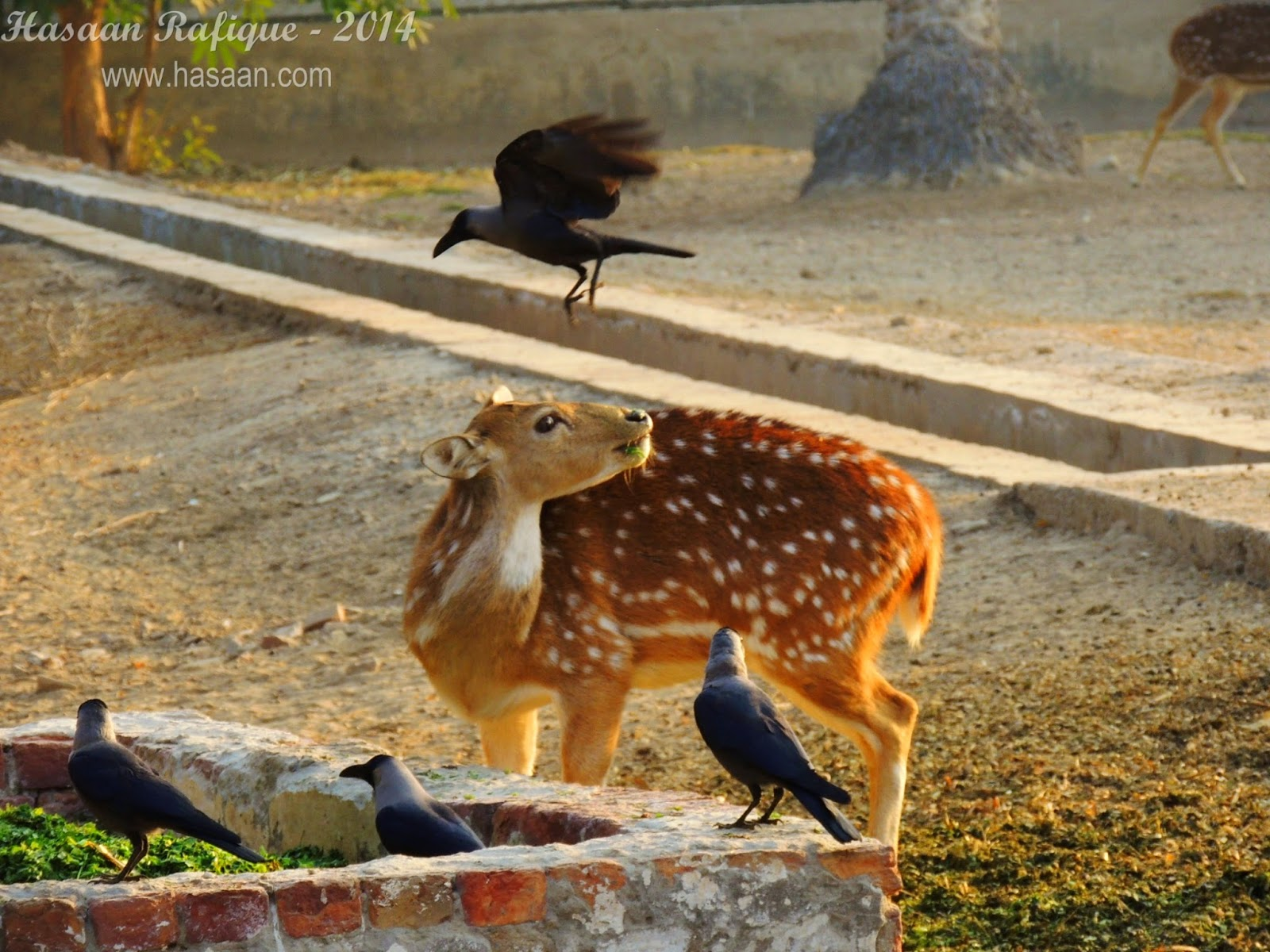 An interesting shot of some crows with a deer.