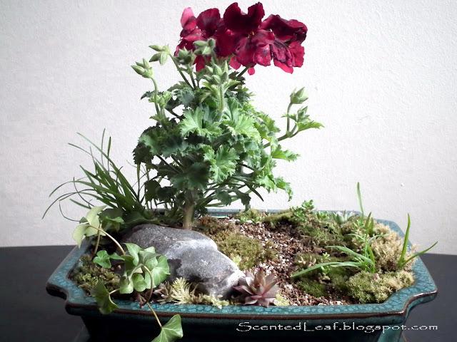 Miniature garden with regal pelargonium - 2011 Plant Sale of the Canadian Geranium and Pelargonium Society Vancouver