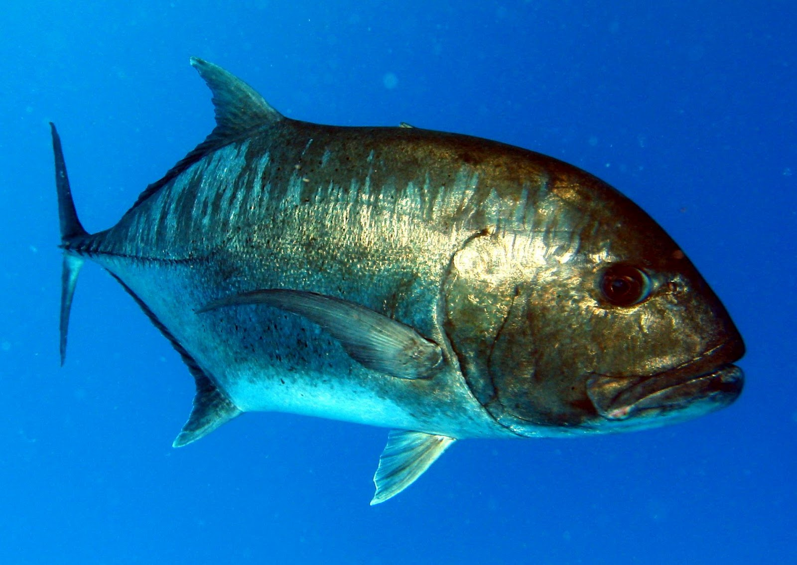Fish identification jack species for Edible hawaiian fish