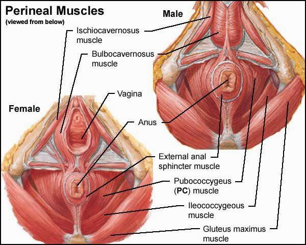 ejercicios fortalecer pene