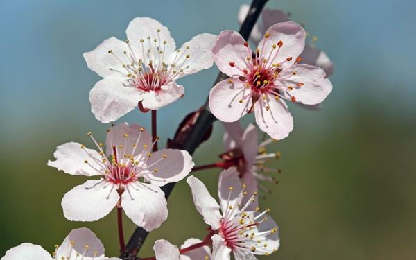 Cherry-Blossom-sprig1.jpg (600×375)