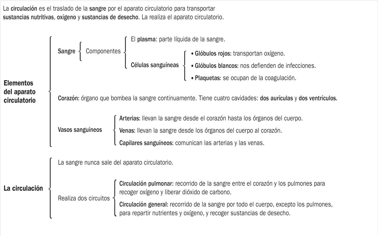 CONO: Aparato circulatorio- Esquema