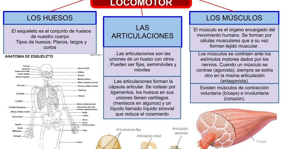 Investigo y comparto: ESQUEMA APARATO LOCOMOTOR 6º