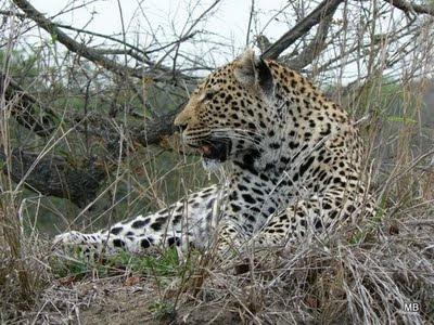 Lampart Kruger