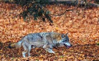 Caza lobo