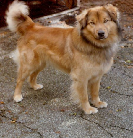 Golden german shepherd