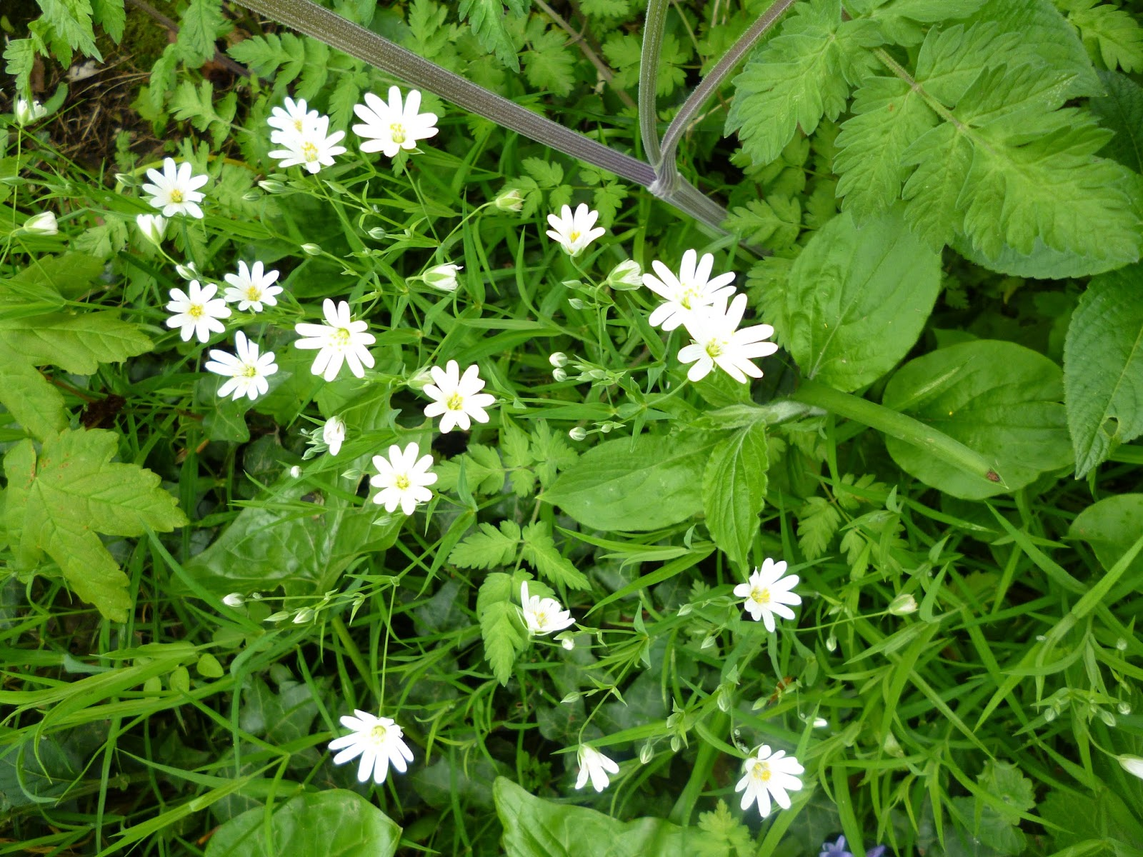 stitchwort flowers