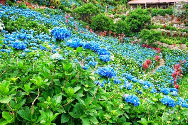 Ajisai, flowers, Hydrangea