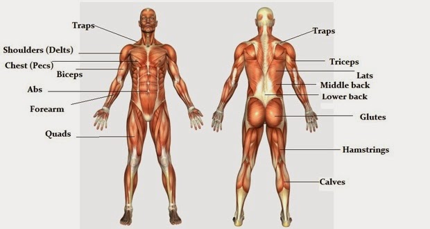Muscles of the body anatomy