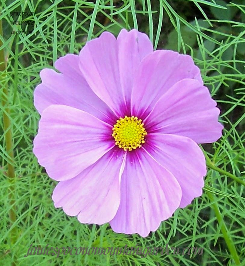 Janies pocono mountain garden pretty in pink flowers for a cosmos are tall willowy flowers that come in a variety of colors im partial to the pink tones oh maybe this one is more of a mauve color mightylinksfo
