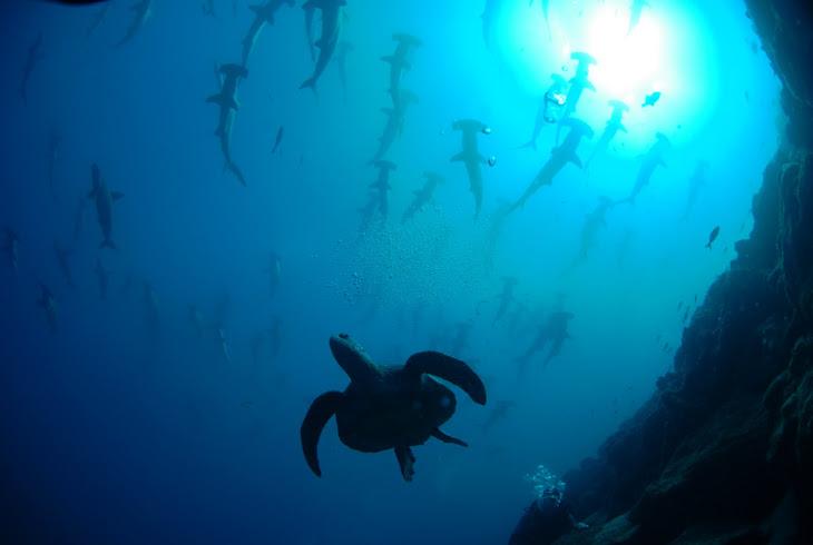 Darwin Island Hammerheads