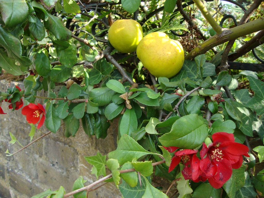 the japanese quince Flavanols from japanese quince (chaenomeles japonica) fruit suppress  expression of cyclooxygenase-2, metalloproteinase-9, and nuclear.