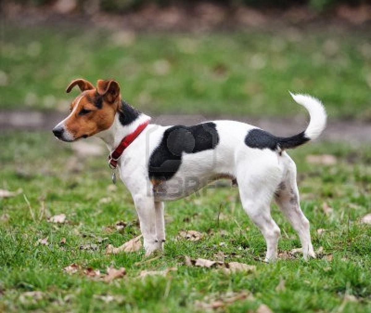 Blog de Perros Miniaturas: Jack Russell Terrier.