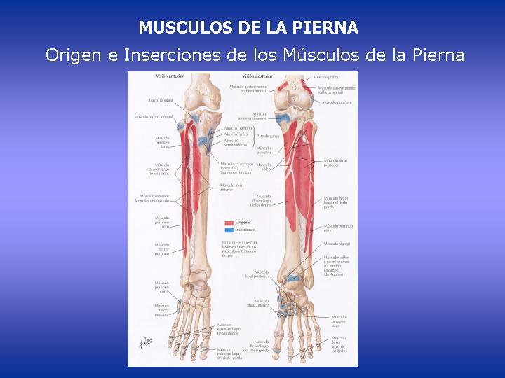 Anatomía Humana... Para Humanos: INSERCIONES MUSCULARES DE LA PIERNA