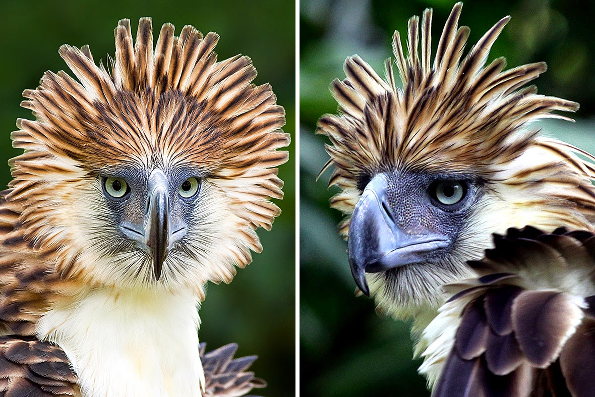 Rostro del Águila Monera de Filipinas