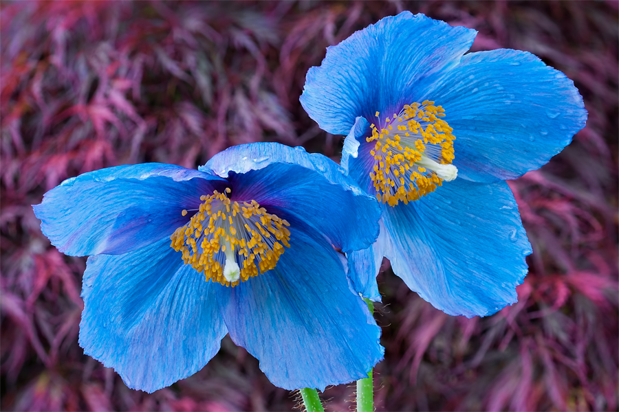 Linda cochrans garden himalayan blue poppies himalayan blue poppies mightylinksfo