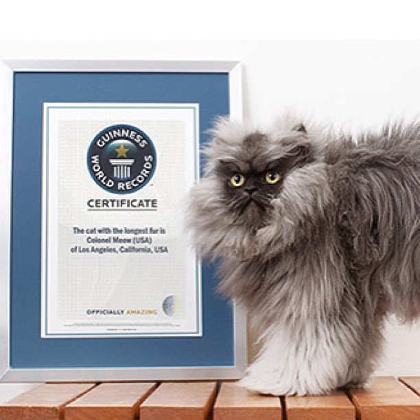 Cat With The Longest Fur : Colonel Meow   Guinness World Record Holder Cat