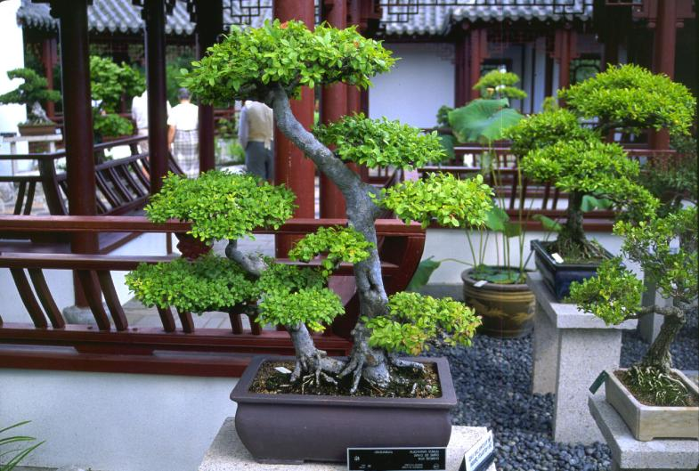 Backyard Bonsai Trees : Home Garden and Landscaping Bonsai Making