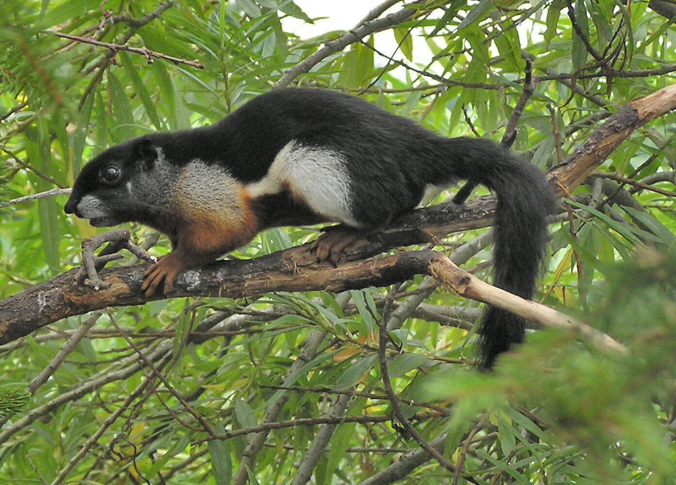 Asian Giant Squirrels