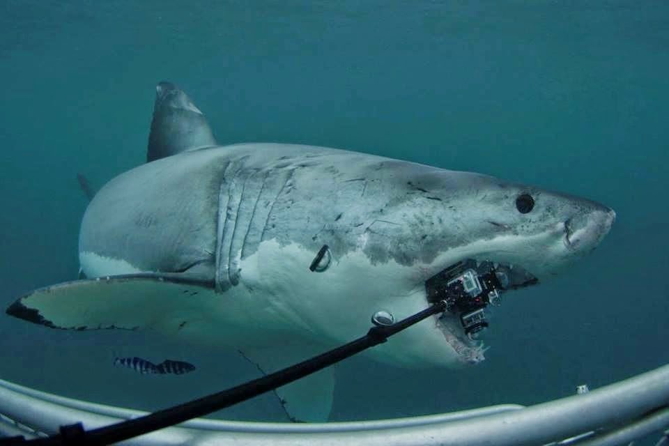 Tiger Shark Eating Seal