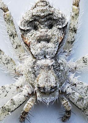 英國人臉蜘蛛