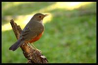 TV Selvagem | Sabiá-laranjeira