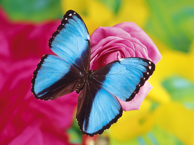 Blue Betterfly Wallpapers Free Download