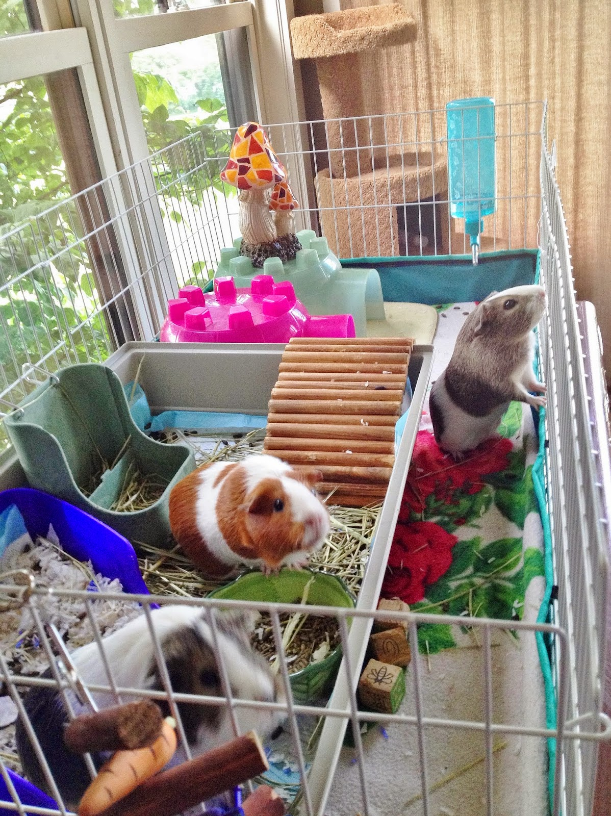 Happily ever after how to clean a midwest guinea pig cage