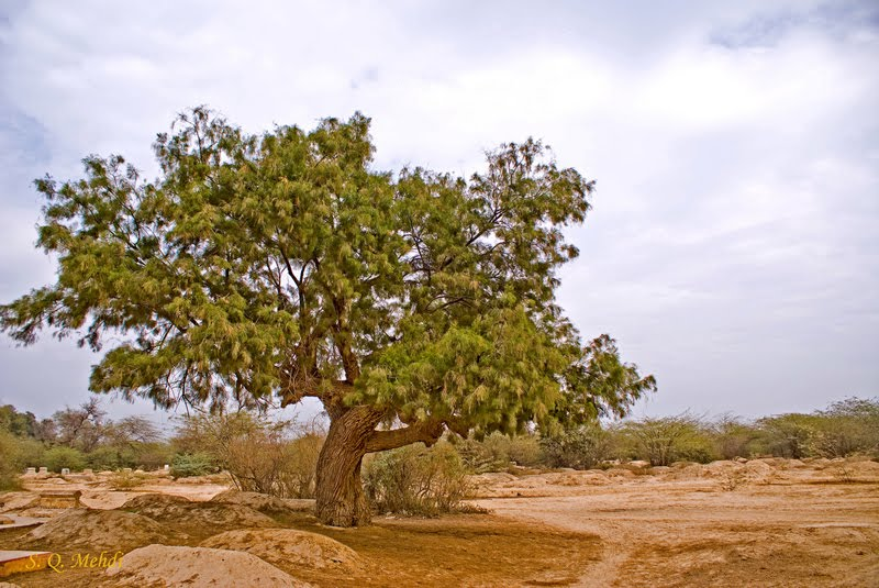 Palestine Cry Tamarisk Tree Symbol Of Our Lord Jesus Christ The