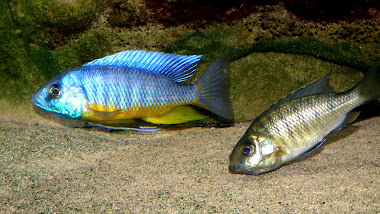 Protomelas Spilonotus Tanzania WF - samec a samička