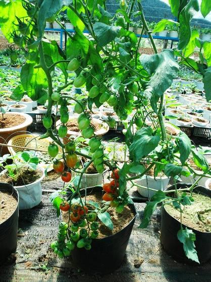 Trồng cà chua bi sạch tại nhà