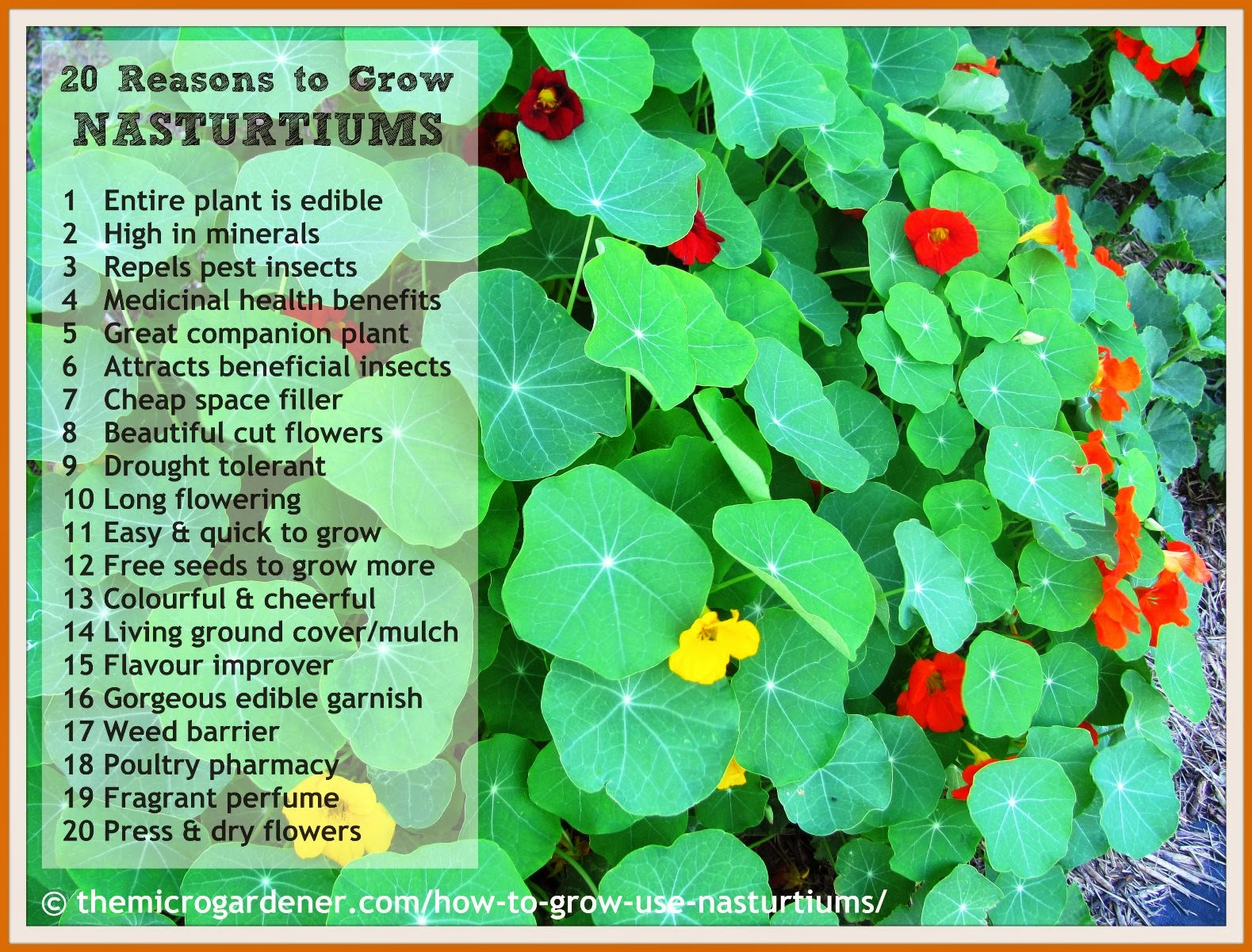 20 Reasons to Grow Nasturtiums | The Micro Gardener