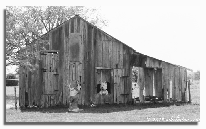 Basset hammering on dilapidated barn. Westie looks out window