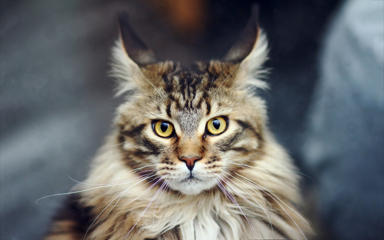 cat, Cats, Maine Coon Cat, pet, pets,