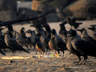Mynah between the crows...