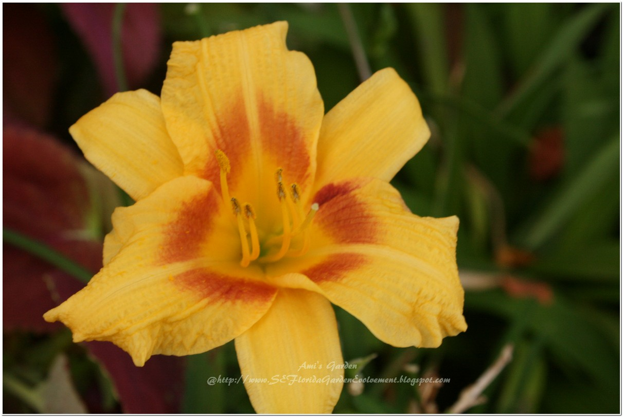 Southeast Florida Garden Evolvement Daylily Disappointment And