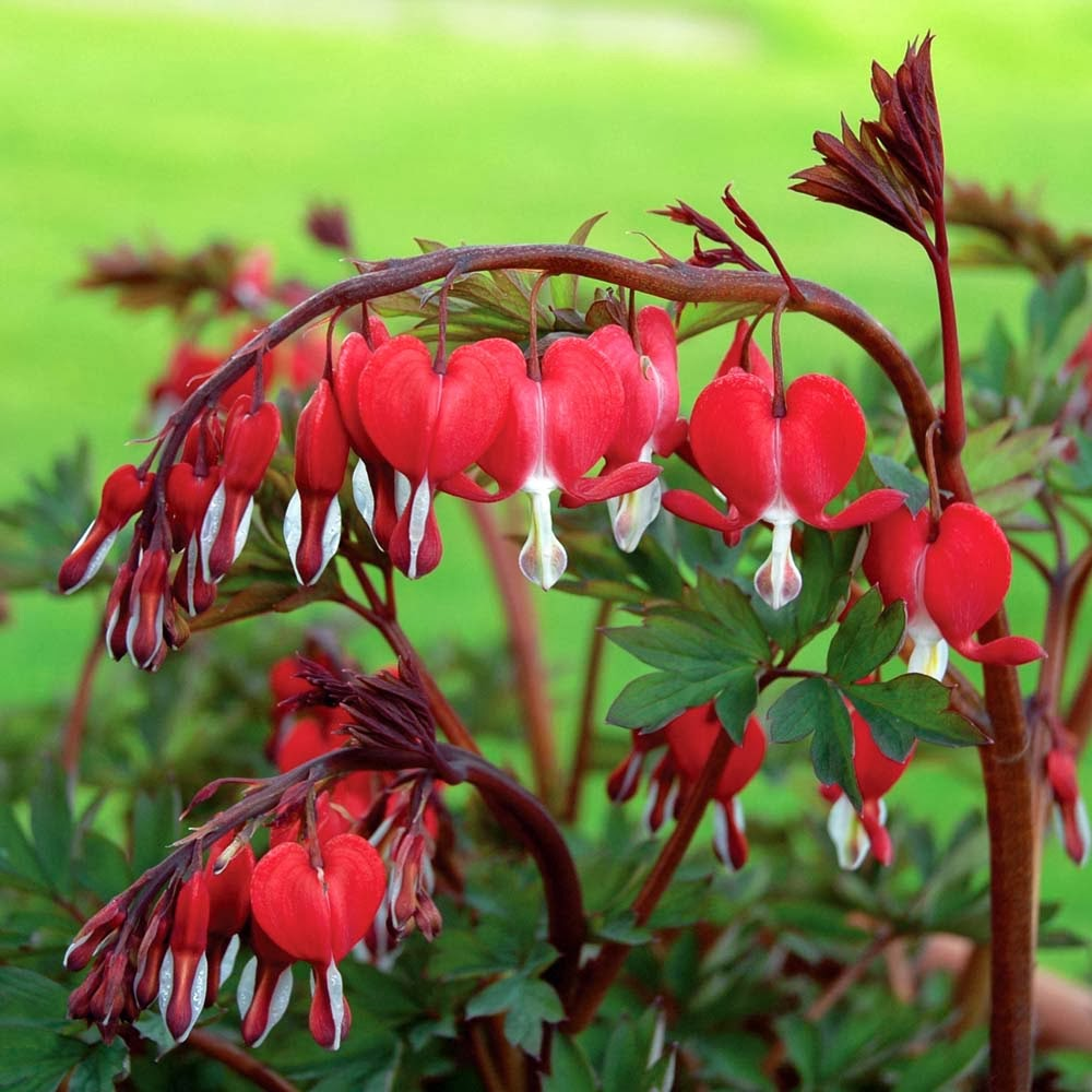 the bleeding heart Read about the various types of bleeding hearts learn their flower meaning, whether or not they're poisonous, and how to grow these perennials.