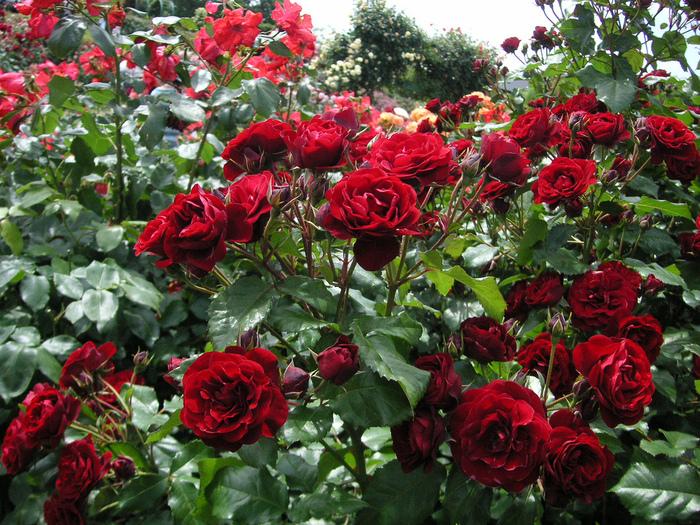 Jardin de las rosas keisei japon taringa for Cancion jardin de rosas