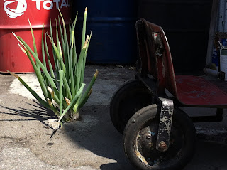 Onions bust through the pavement outside a smog shop.