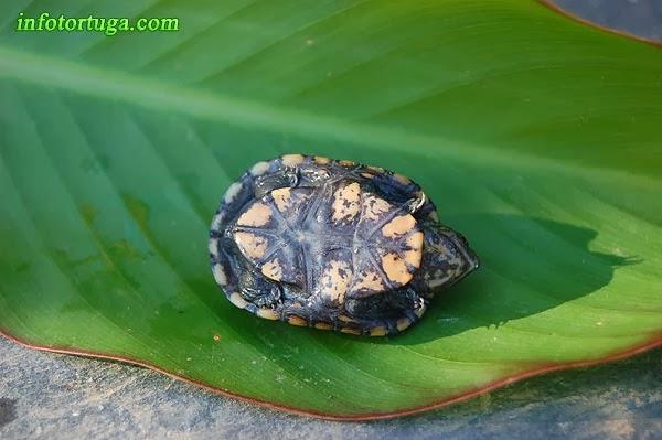 Cría de Kinosternon scorpioides