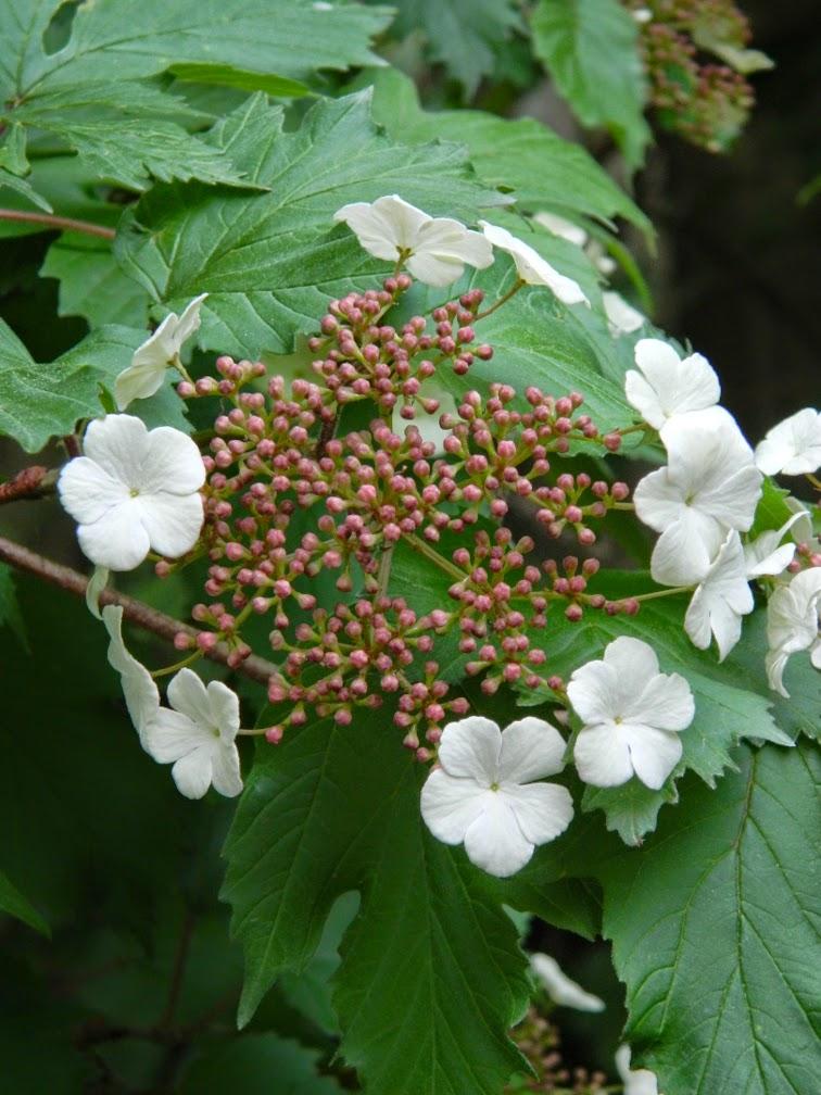 Viburnum sargentii Onondaga Sargent viburnum by garden muses-not another Toronto gardening blog