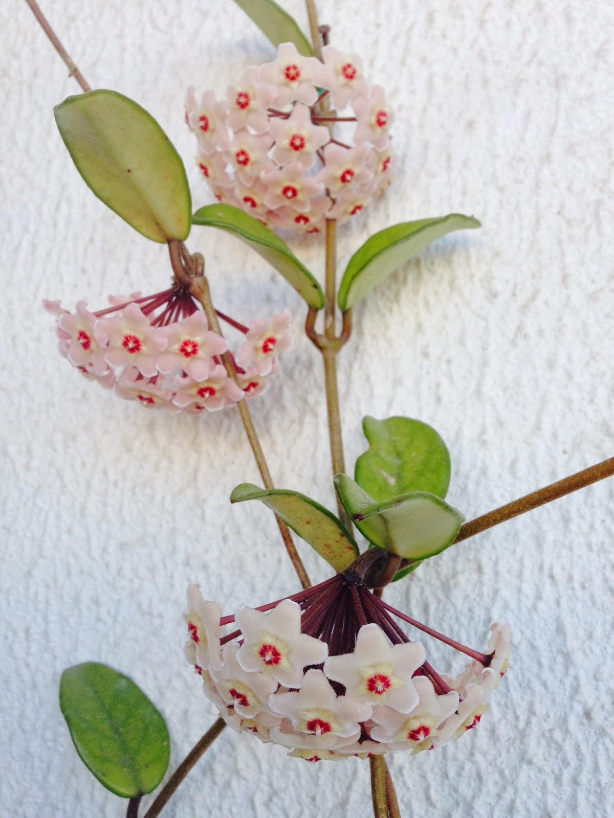 Hoya carnosa ou flor-de-cera