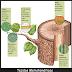 Tejidos Vegetales 1 - Tejidos  Meristemáticos y Protectores