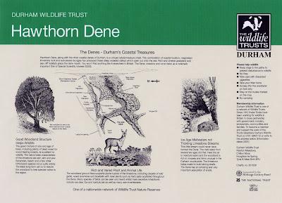 Interpretive Panel Illustrations Hawthorn Dene County Durham North East UK by North East artist & illustrator Ingrid Sylvestre
