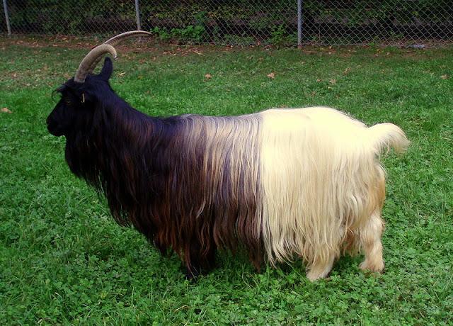 mammalia,chordata,goat,cattle,meat,wild life